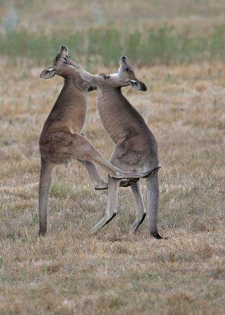 Bogee, Australia: Young male Eastern Grey Kangaroos play fighting