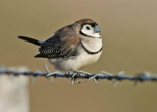 Bogee, Australia: Double-barred Finch