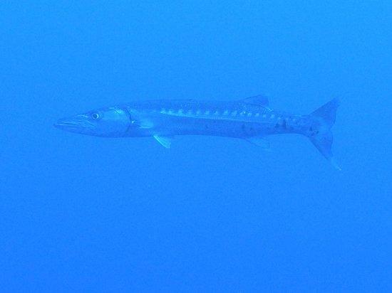 Barefoot Divers : barracuda
