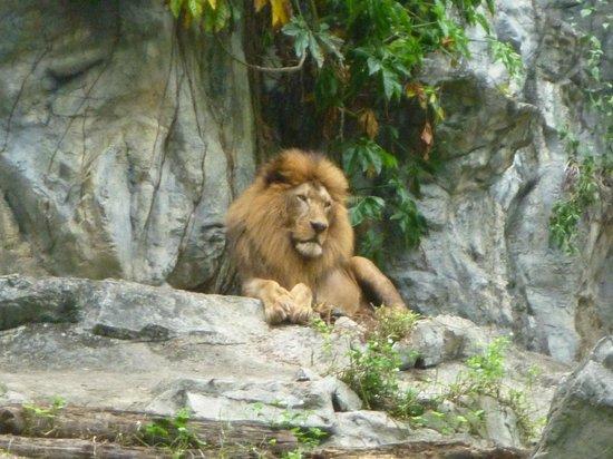 Chiang Mai Zoo Aquarium : Lion