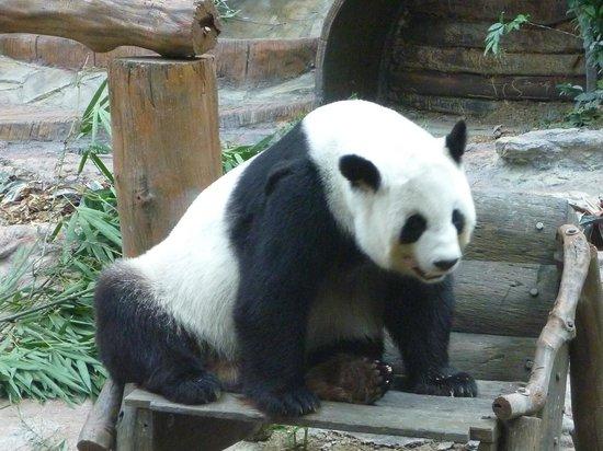 Chiang Mai Zoo Aquarium : Panda bear
