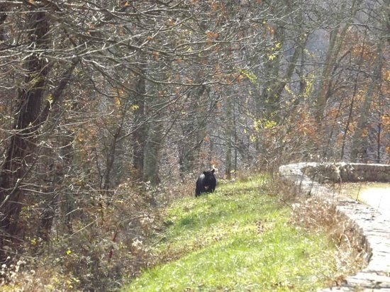Shenandoah National Park, VA: Our second bear we saw!