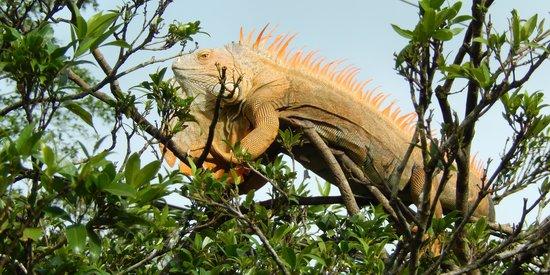 Canoa Aventura: One big iguana