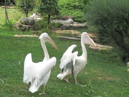 Parc animalier de Gramat : pelican