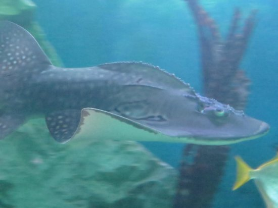Sea Life Blackpool : some kind of shark?