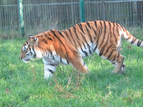 Blackpool Zoo : Tiger!