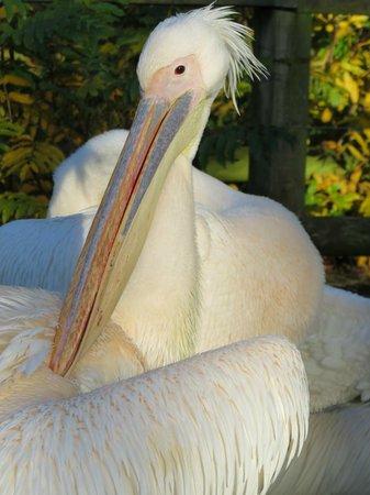 Blackpool Zoo: Pelicans