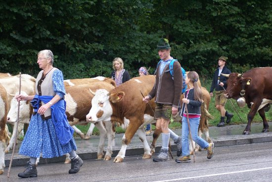 Alm- & Wellnesshotel Alpenhof: Walking the Cow Herd throught Berchtesgaden