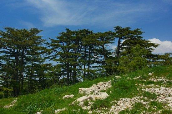 Tannourine Cedar Forest Nature Reserve : Tannourine Cedars