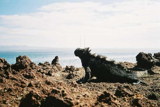 Espanola, Ισημερινός: Galapagos Marine Iguana