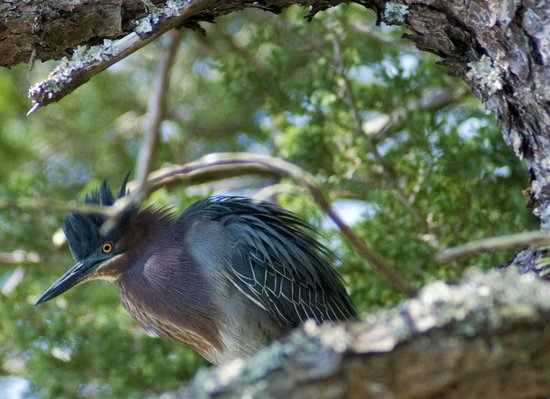 South Dennis, MA : Excited green heron