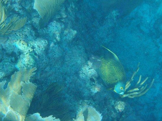 Spirit Snorkeling: French Angelfish