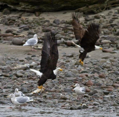 Brackendale Eagle Reserve: A pair of eagles takes off