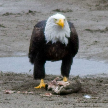 Brackendale Eagle Reserve: Eagle eating salmon