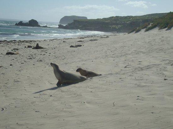 Kangaroo Island Odysseys: seal