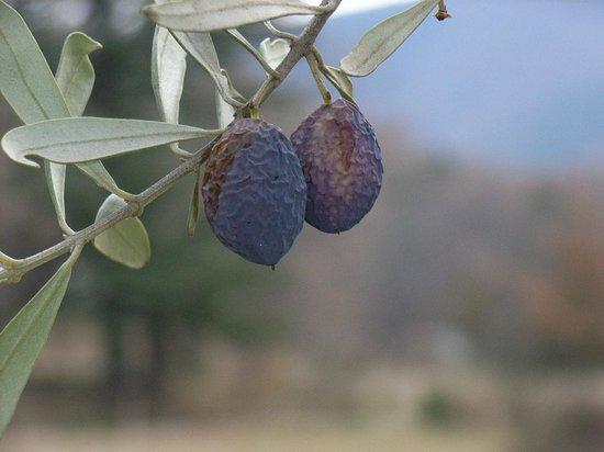 Villa Gaia : oliviers parc