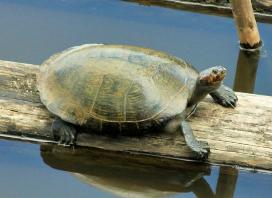 La Selva Amazon Ecolodge: Turtle in the Lake