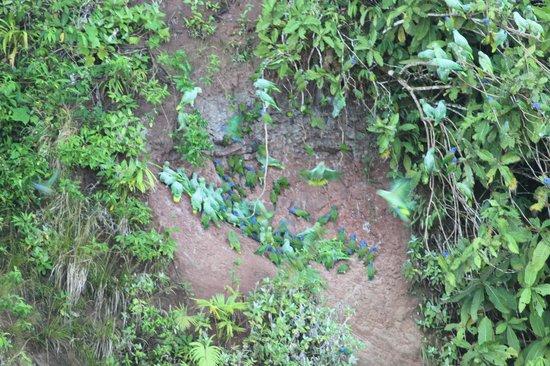 La Selva Amazon Ecolodge: Parrots at the Clay Lick