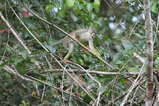La Selva Amazon Ecolodge: Squirrel Monkey