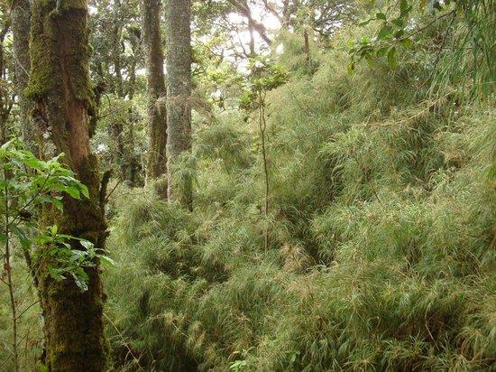 Huitepec Ecological Reserve: Bambus-Unterwuchs auf dem Huitepec