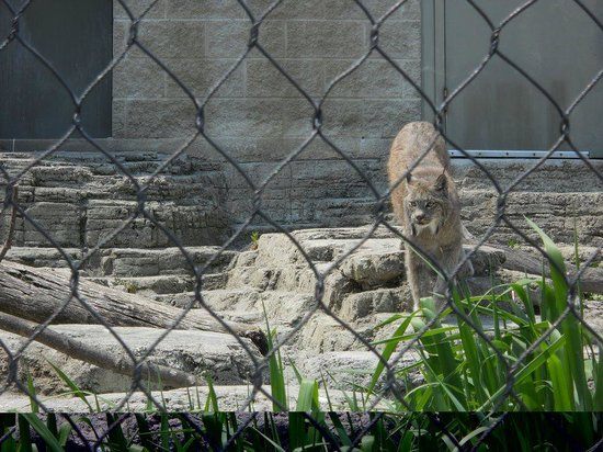 Racine Zoo: The Canadian Lynx actually came out!