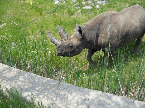 Racine Zoo: rhino