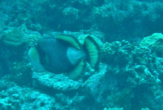 Wananavu Beach Resort: Titan Triggerfish