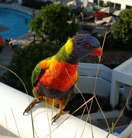 Sofitel Noosa Pacific Resort : Besuch auf dem Balkon.