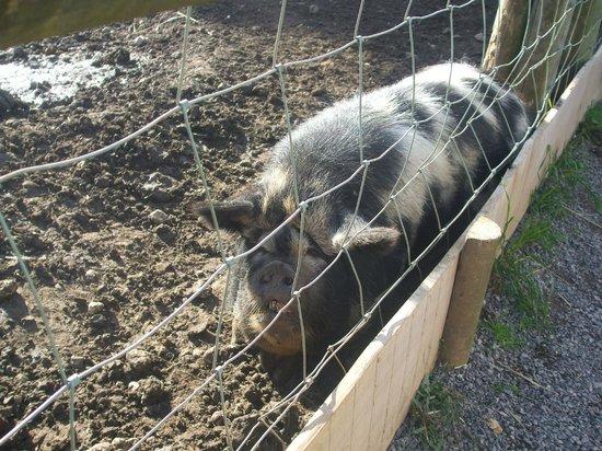 Bath City Farm: pig