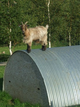 Bath City Farm: one of the goats