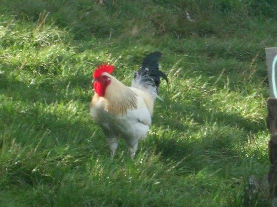 Bath City Farm: chicken