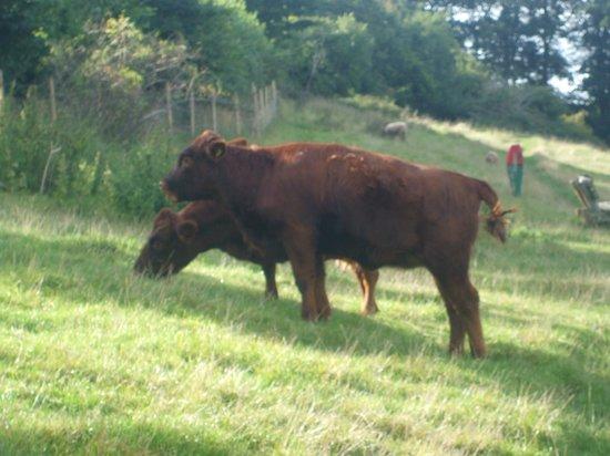 Bath City Farm: cow's