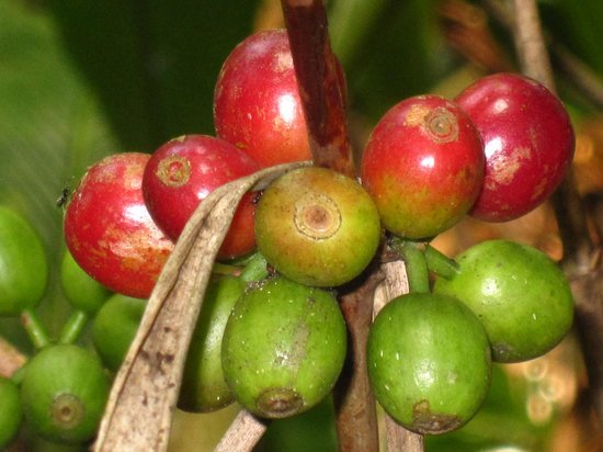 Nature Dale Munnar: Coffee of their own