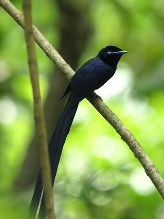 Le Domaine de L'Orangeraie Resort and Spa: Long Tailed Paradise Fly Catcher - Male