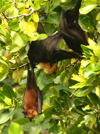Le Domaine de L'Orangeraie Resort and Spa: Giant Fruit Bats - they do not bother you, they just hang about in daytime