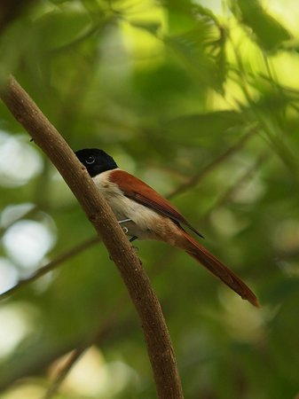 Le Domaine de L'Orangeraie Resort and Spa: Female Paradise Fly Catcher