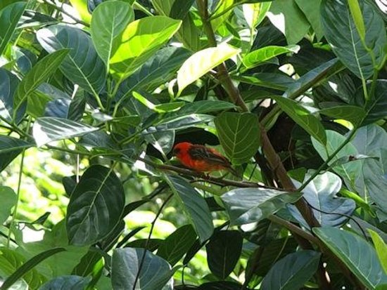 Le Domaine de L'Orangeraie: Madagasker Fody beautiful little bird