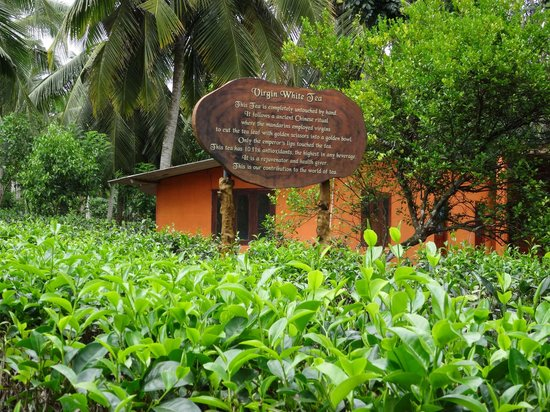 Templeberg Villa: Nearby tea plantation