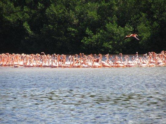 Mangroves of Dzinitun: Flamingos