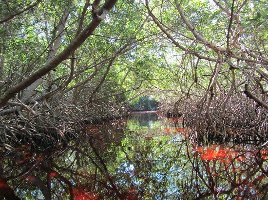 Mangroves of Dzinitun: Mangroves