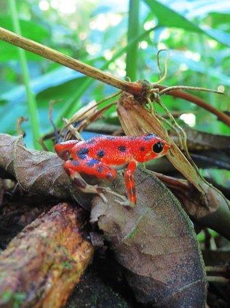 Free Spirit Oasis: Strawberry Poison-dart Frog