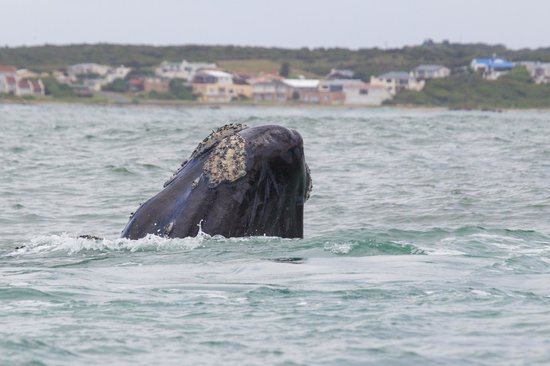 Dyer Island Cruises: Southern Right Whale