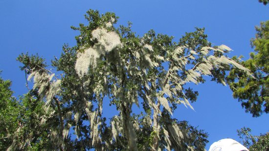 Airboat Adventures : Beautiful trees covered in the spanish moss