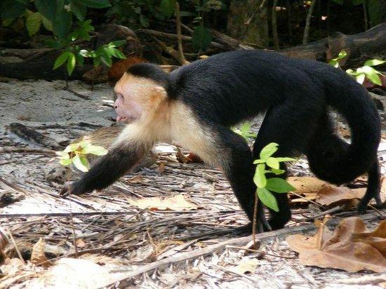 Villa Kristina Apartments: Capuchin  monkey