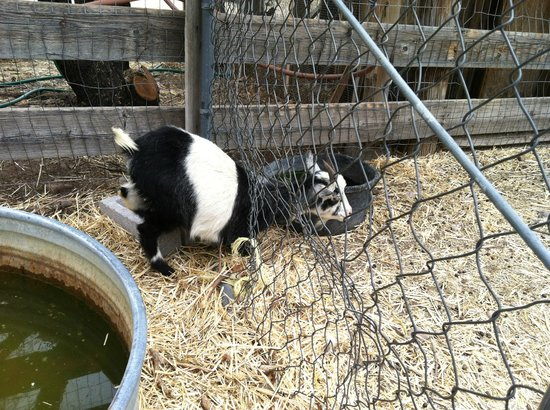 Agua Linda Farm: Goat getting out of the fence