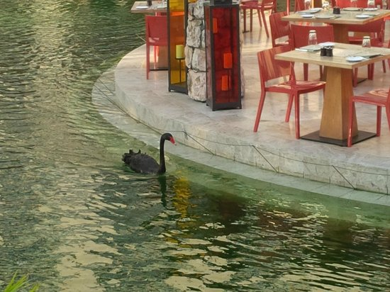 Hyatt Regency Aruba Resort and Casino: black swans on property
