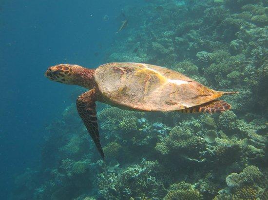 Vakarufalhi Island Resort: Turtle