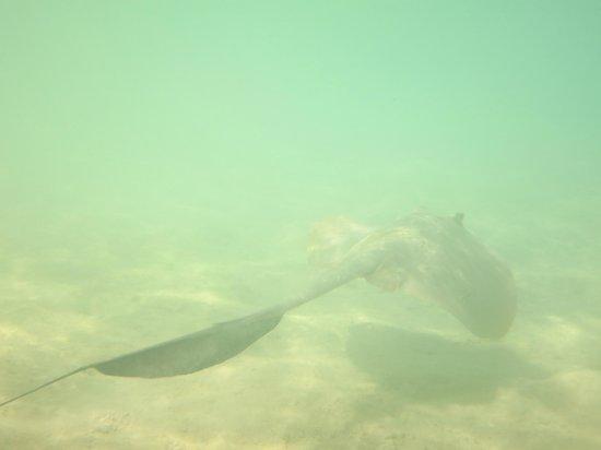 Vakarufalhi Island Resort: Sting ray under the spa area