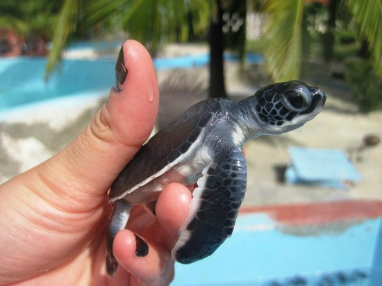 Sea Turtle Hatchery: Day old baby :)