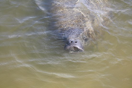 Jensen's Twin Palm Cottages and Marina: First time we have ever seen a chubby manatee at Jensons Marina,